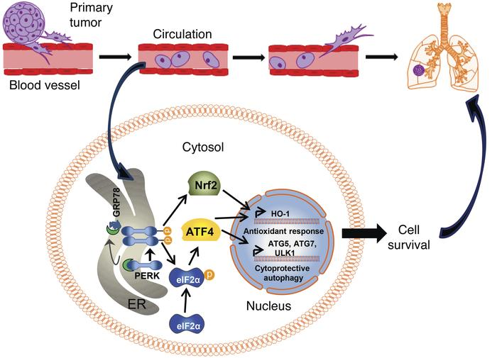 Model for involvement of HO-1 in ATF4-mediated metastasis. Detachment of...