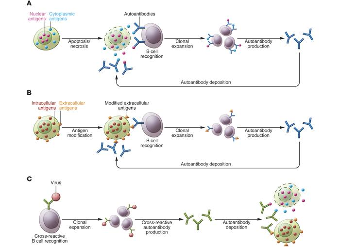 Mechanisms for autoantibody production: apoptosis, antigen modification,...