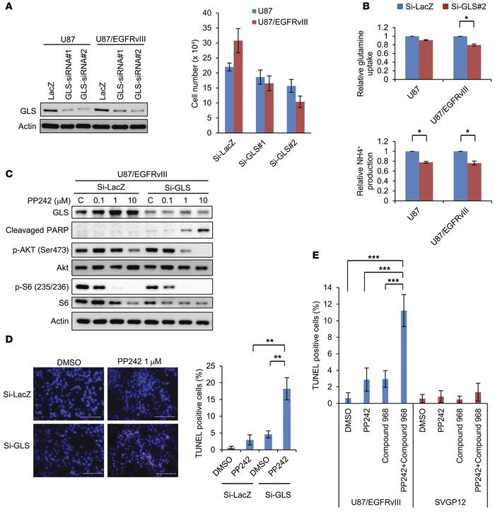 GLS inhibition sensitized GBM cells to mTOR-targeted treatment. (A) U87 ...
