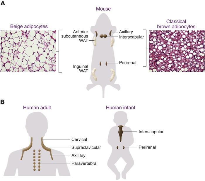 Anatomical locations of thermogenic adipocytes in mice and humans. (A) I...