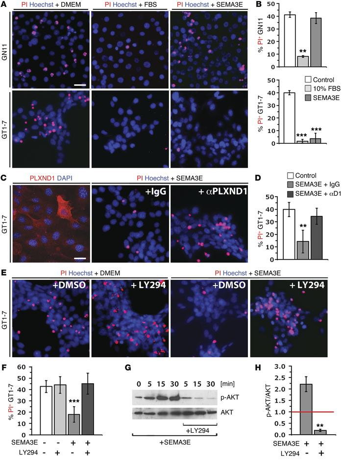 SEMA3E promotes GnRH neuron survival via PLXND1 and PI3 kinase activatio...