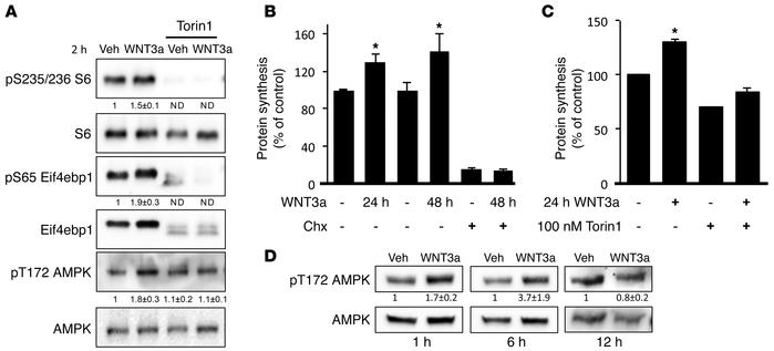 WNT/mTORC1-dependent protein synthesis induces a transient energy defici...