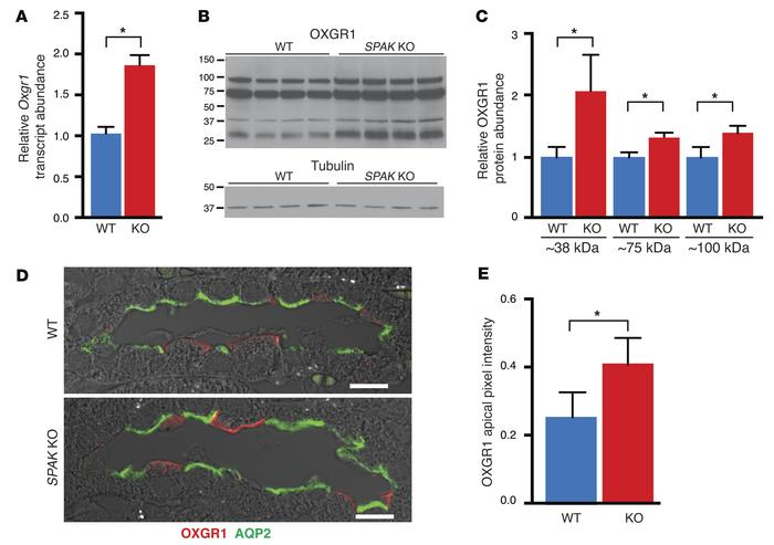 Induction of the α-KG–activated GPCR OXGR1 in SPAK KO mice. (A) qPCR of ...