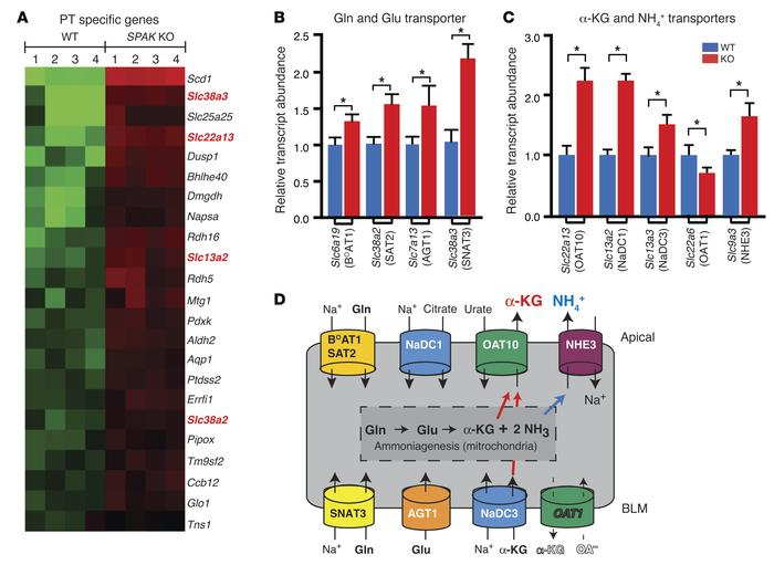 Induction of PT transport proteins in SPAK KO mice facilitates α-KG prod...