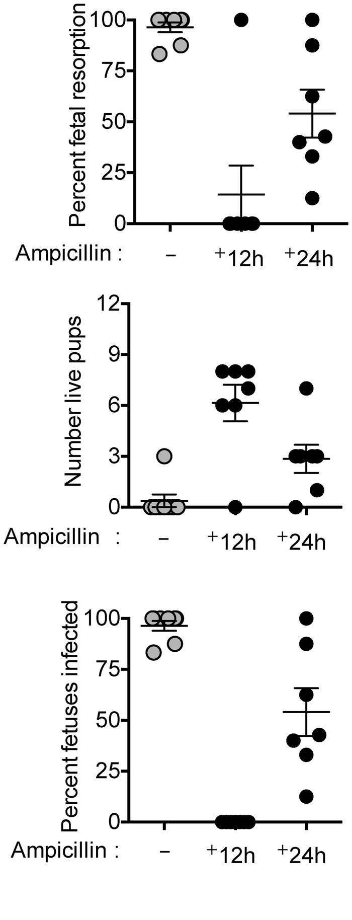 Ampicillin administration early after virulent L. monocytogenes prenatal...
