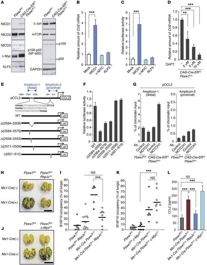 NOTCH accumulation in FBXW7-deficient BMSCs promotes CCL2 expression and...