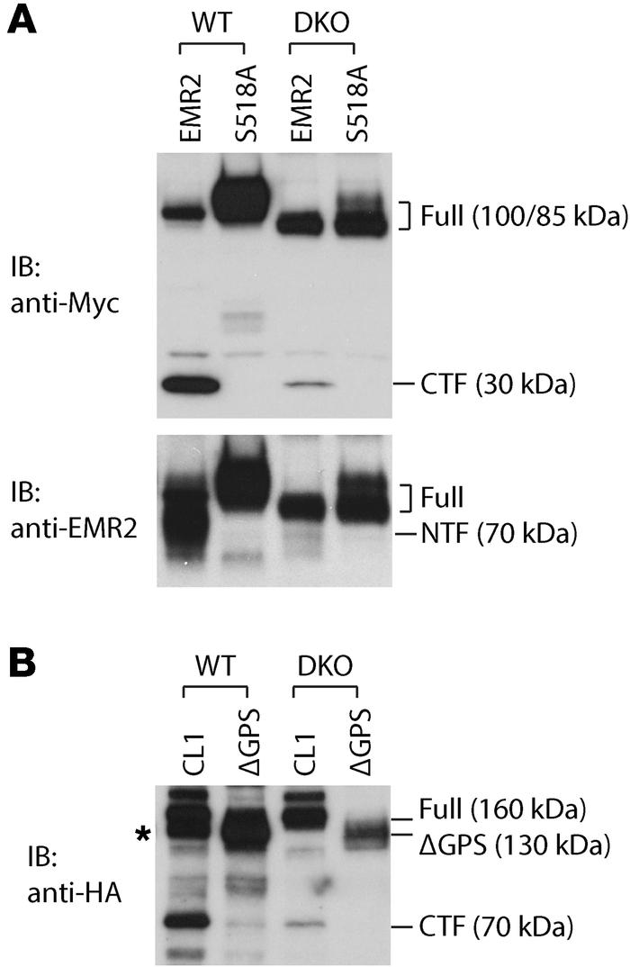 SEC63 and XBP1 regulate autoproteolysis of EMR2 and CL1 adhesion GPCRs. ...