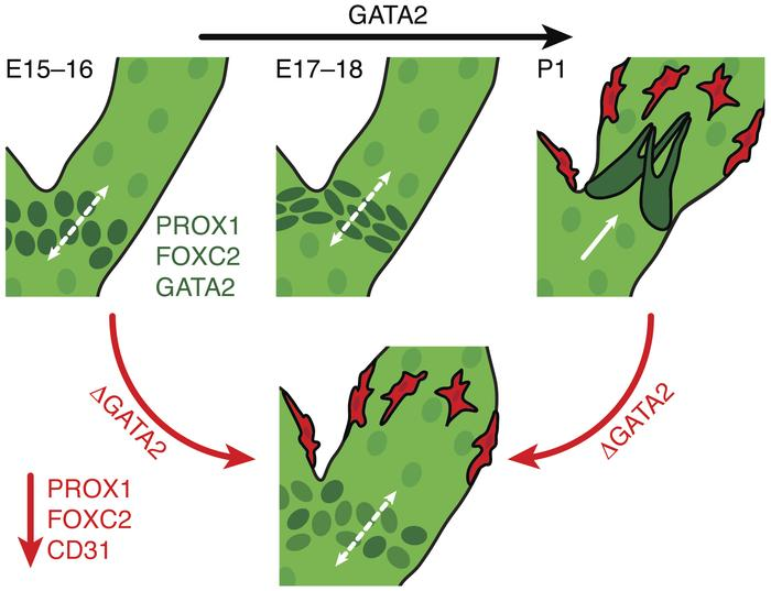 Model depicting mechanisms by which Gata2 regulates lymphatic vascular d...