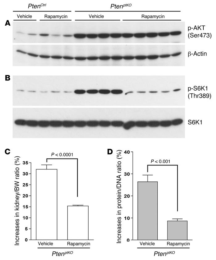 Rapamycin inhibits mTORC1 signaling and renal growth in PtenptKO mice. T...