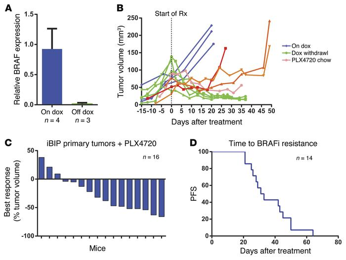 Generation of BRAF inhibitor–resistant iBIP mouse melanomas. (A) Real-ti...