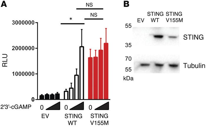 Constitutive activation of the mutant STING in vitro. (A) Luciferase ind...