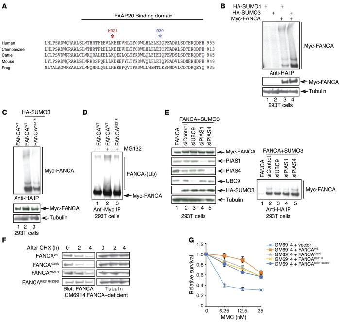 The SUMO E3 ligase PIAS1 mediates FANCA SUMOylation at K921. (A) Alignme...