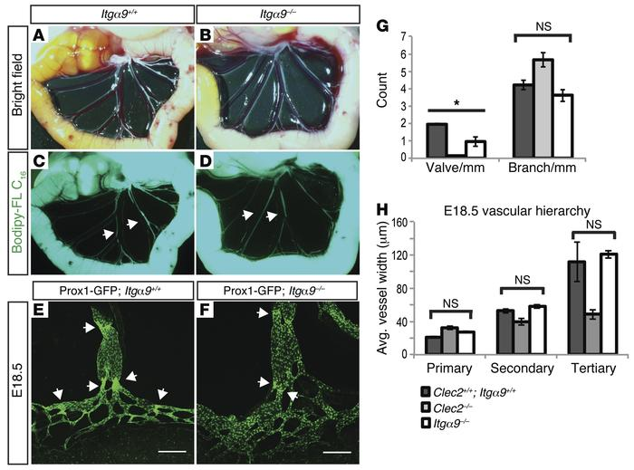 Embryonic vessel remodeling is preserved in Itga9–/– animals that lack l...