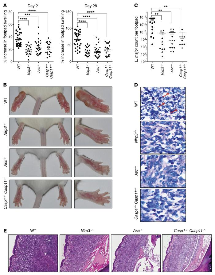 Inflammasome signaling promotes susceptibility to L. major infection in ...