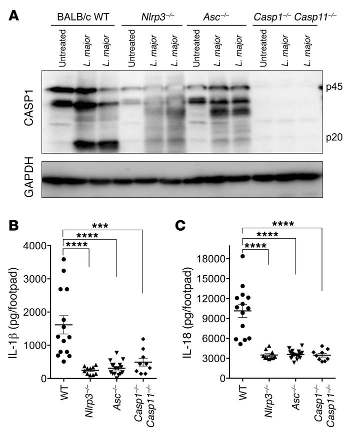 L. major induces NLRP3 inflammasome activation in vivo. WT (n = 14), Nl...