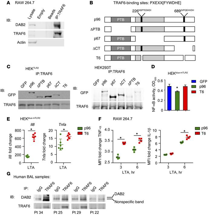 DAB2 binding to TRAF6 controls NF-κB–dependent gene expression. (A) Co-I...