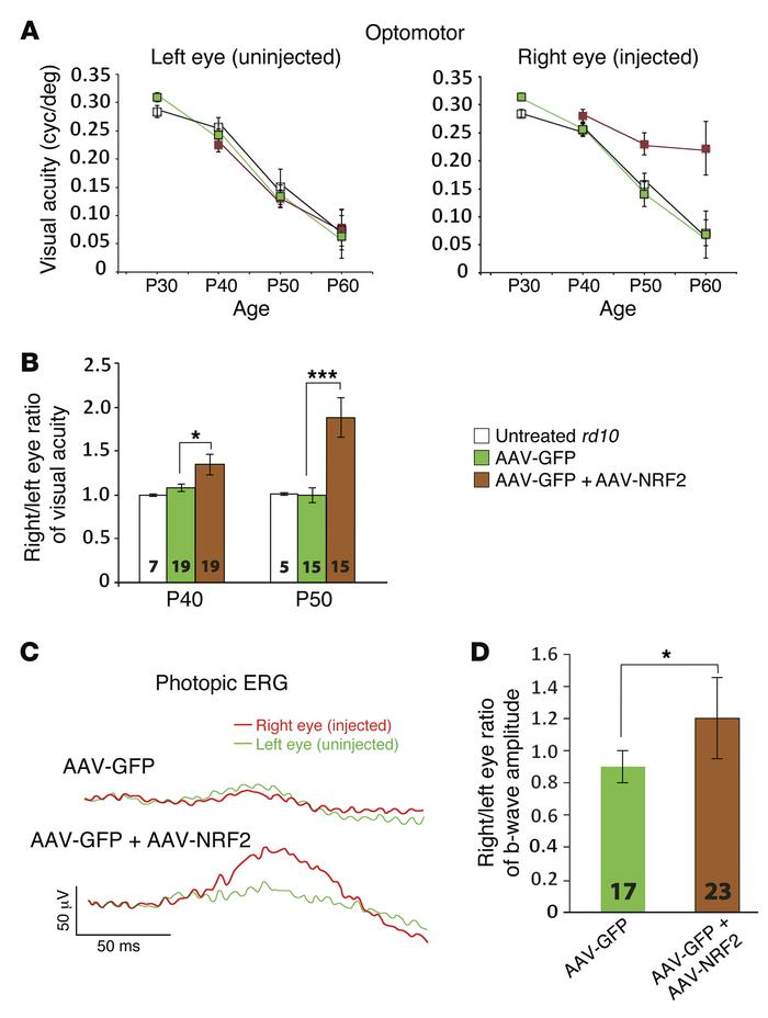 Evaluation of function following infection with AAV-NRF2. (A) The optomo...