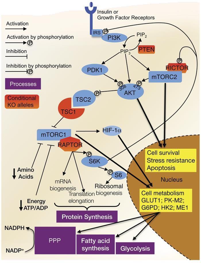 Schematic representation of the insulin/mTOR pathway. Upon insulin or gr...