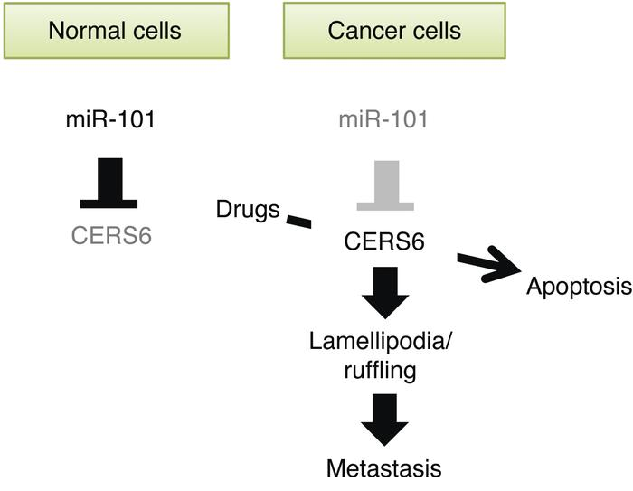 Illustration of relationship of miR-101 and CERS6. In cancer cells, miR-...