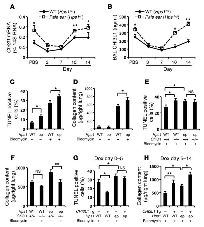 CHI3L1 levels are increased in the lungs of pale ear mice, and it does n...