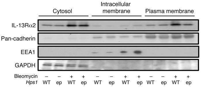 IL-13Rα2 membrane trafficking is impaired in pale ear mice. Total protei...
