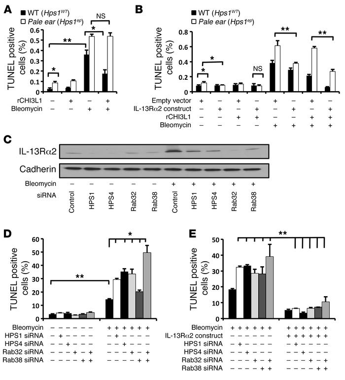 The BLOC-3/Rab32/38 axis plays an important role in the antiapoptotic ef...