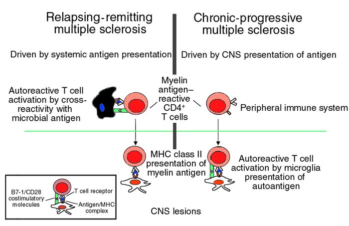 Pathogenesis of autoimmune-mediated inflammatory CNS disease.