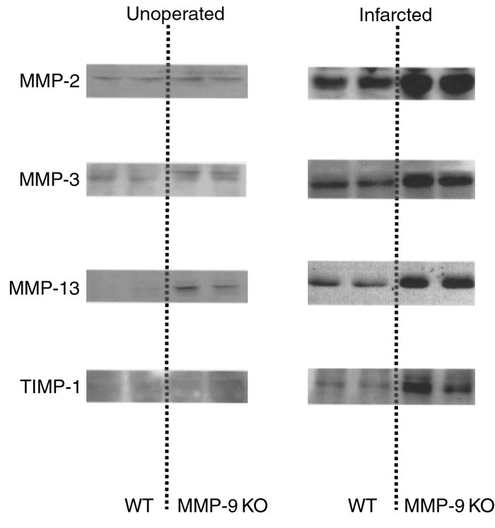 Western analysis for MMP-2, MMP-3, MMP-13, and TIMP-1 in animals that we...