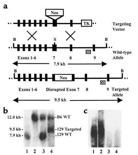 Targeted disruption of the mouse MPO gene. (a) The targeting vector, wil...