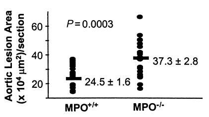 Effect of MPO deficiency on atherosclerosis development in mice. LDLR-de...
