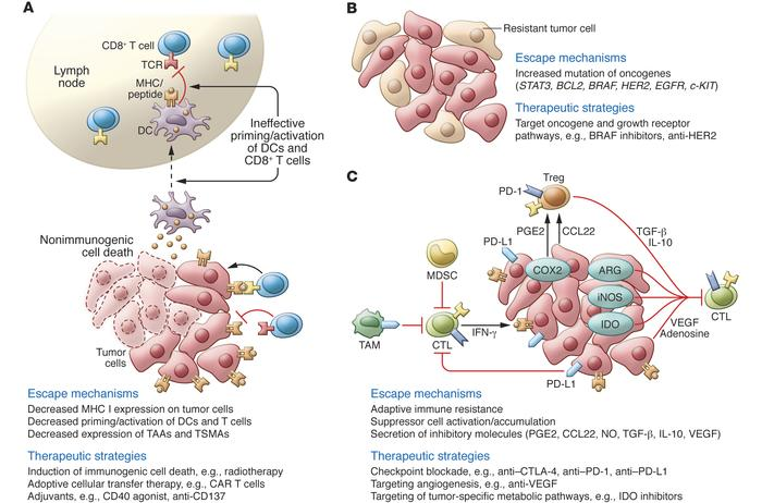 Major mechanisms of tumor escape and therapeutic options. The mechanisms...