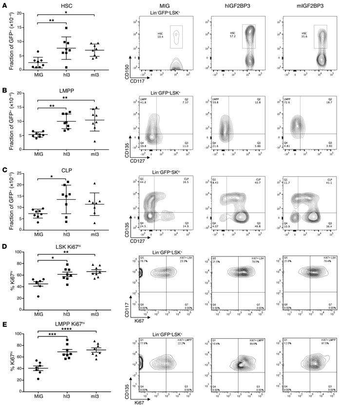 Analysis of BM progenitor populations from IGF2BP3-overexpressing mice. ...