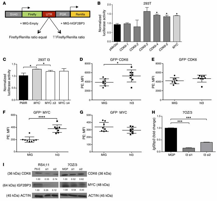 CDK6 and MYC are targeted by IGF2BP3. (A) Schematic of the luciferase as...