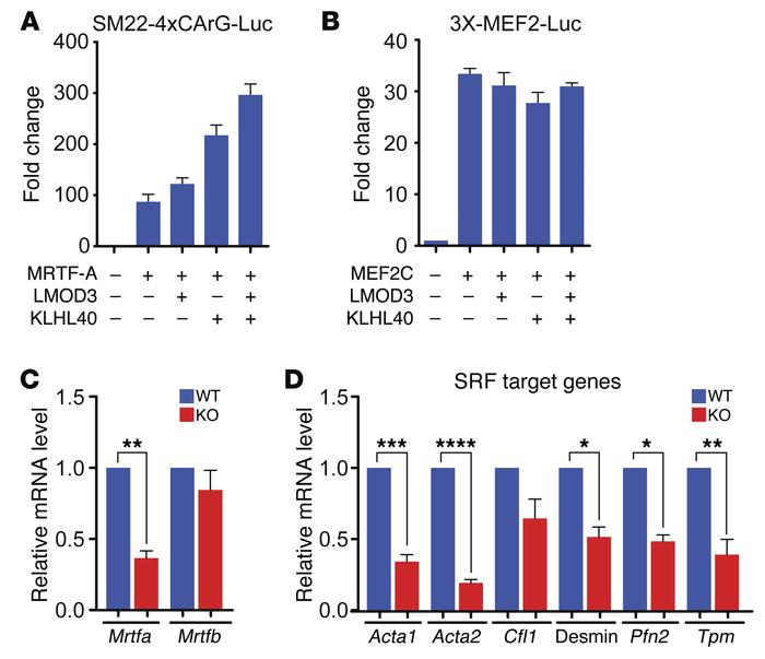 LMOD3 and KLHL40 regulation of MRTF/SRF and MEF2 pathways. Synthetic luc...