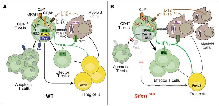 The role of STIM1 in chronic Mtb infection. (A) In WT mice, Mtb-infected...