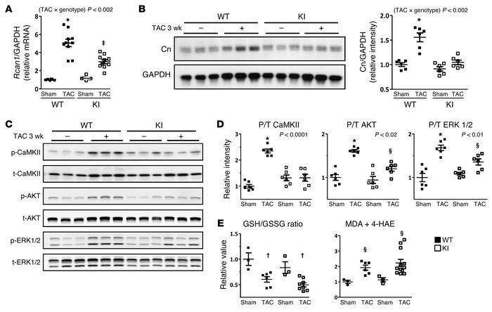 Prevention of PKG1α C42 oxidation blocks maladaptive signaling due to pr...