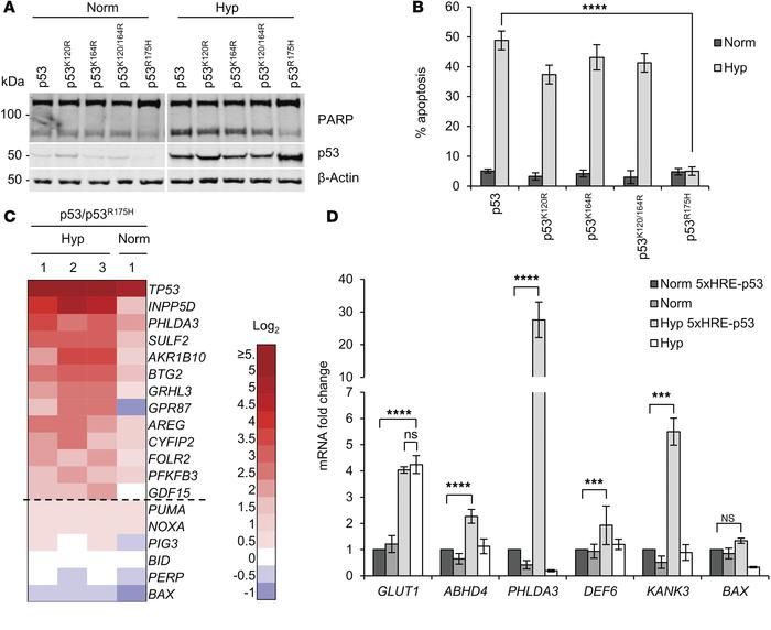 Hypoxia-induced p53-dependent apoptosis is associated with the expressio...