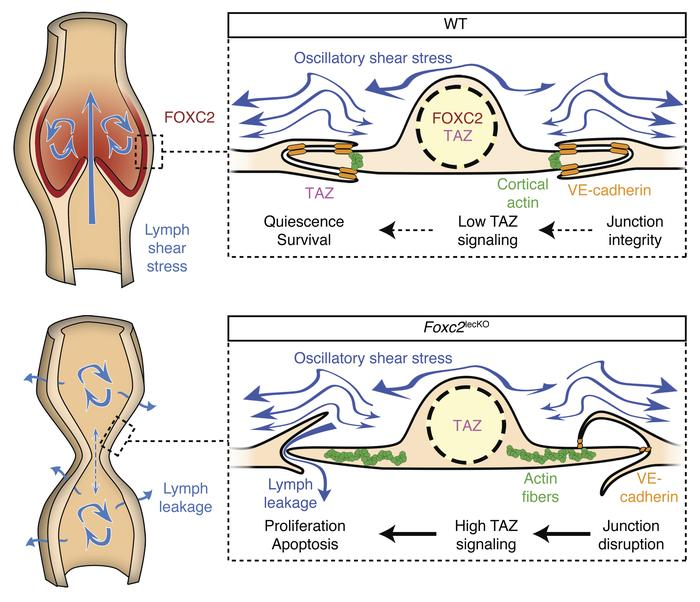 FOXC2 and fluid shear stress stabilize postnatal lymphatic vasculature b...