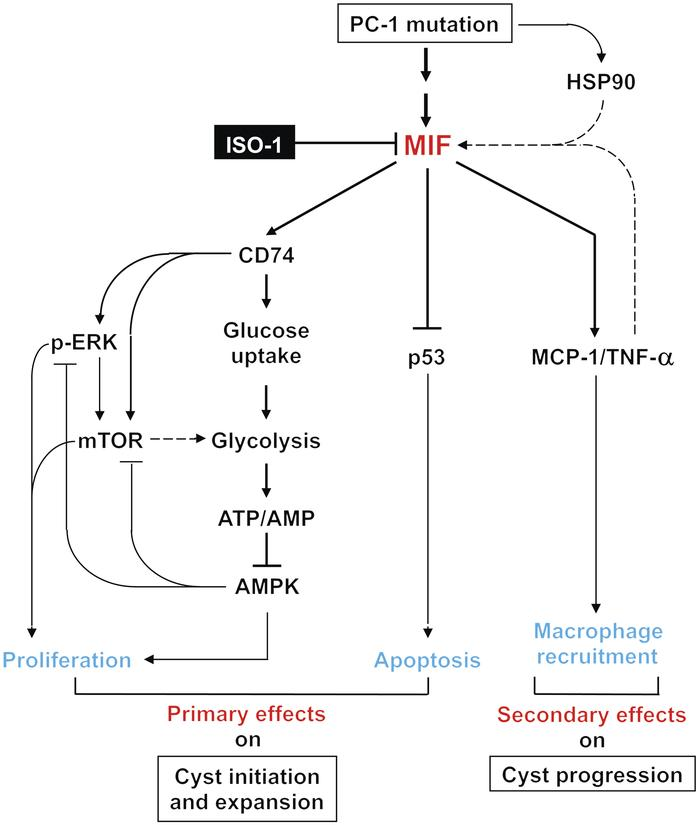 A schematic diagram depicting MIF-mediated pathways and processes in Pkd...