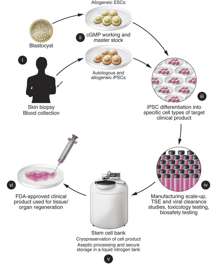 Flow chart of pluripotent stem cell banking. Human PSCs are ideal candid...