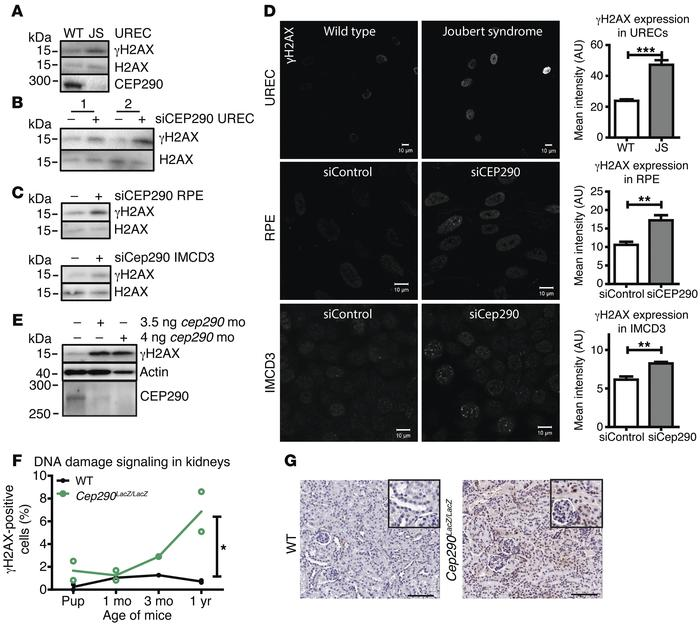 DDR signaling is enhanced ex vivo, in vitro, and in vivo. (A) Western bl...