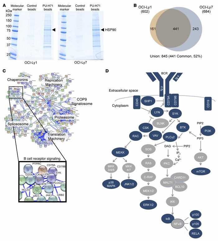 teHSP90 pharmacoproteomics reveals multiple interactions with BCR pathwa...