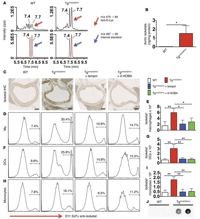 Chronic vascular oxidative stress promotes isoketal-adduct formation. (A...