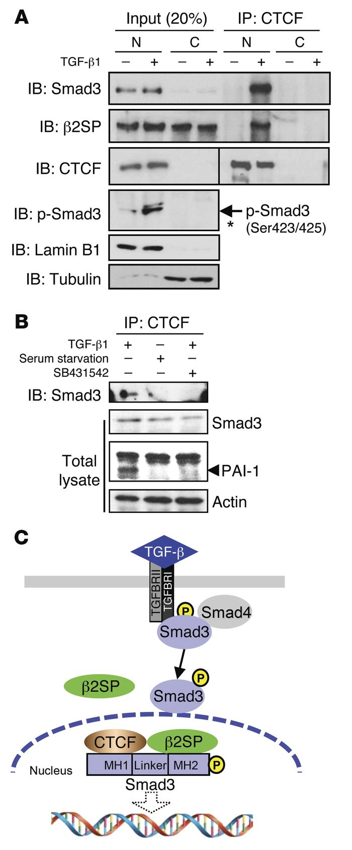 β2SP/SMAD3 interact with CTCF in cell nucleus. (A) CTCF interacts with β...
