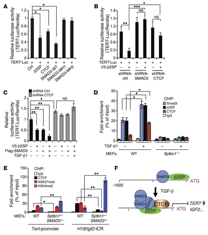 β2SP/SMAD3/CTCF complex transcriptionally regulates TERT. (A) β2SP decre...