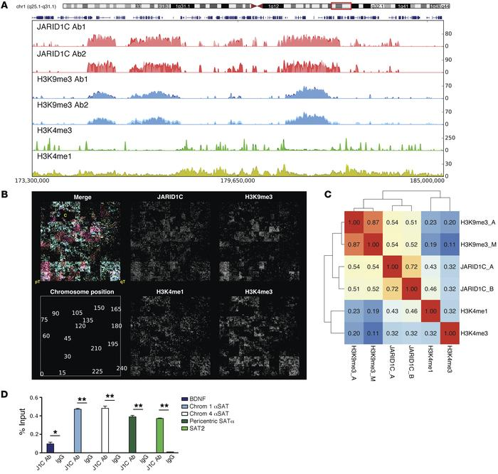 Co-occurrence of JARID1C and heterochromatin. (A) Snapshot of representa...