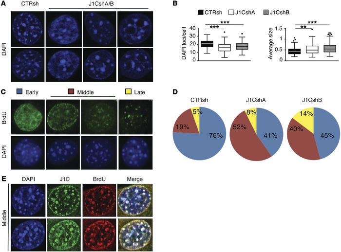JARID1C contributes to heterochromatin maintenance and directly binds to...