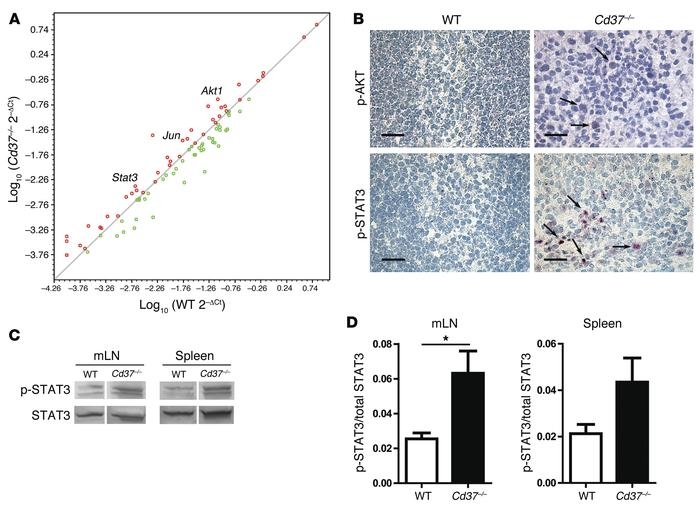 Constitutive activation of the IL-6 pathway in Cd37–/– B cell lymphomas....