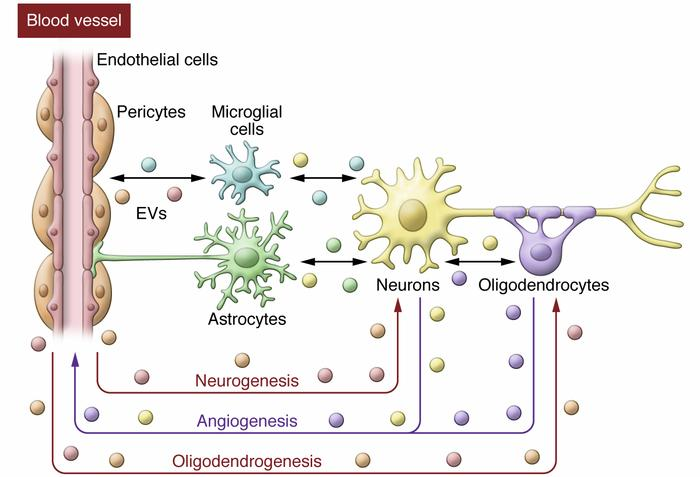 Potential of exosome-mediated intercellular communication in brain remod...