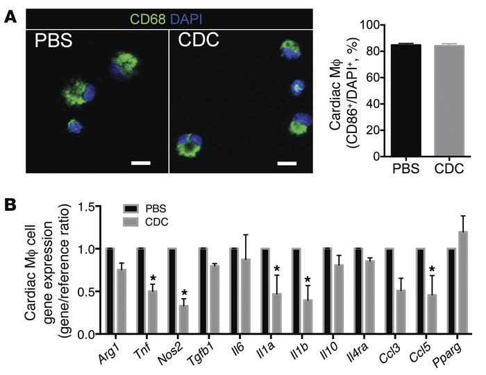 Cardiac macrophages isolated from CDC-treated animals have a distinct cy...